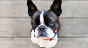 Boston Terrier Temperament: What Will Your Dog's Personality Be Like?