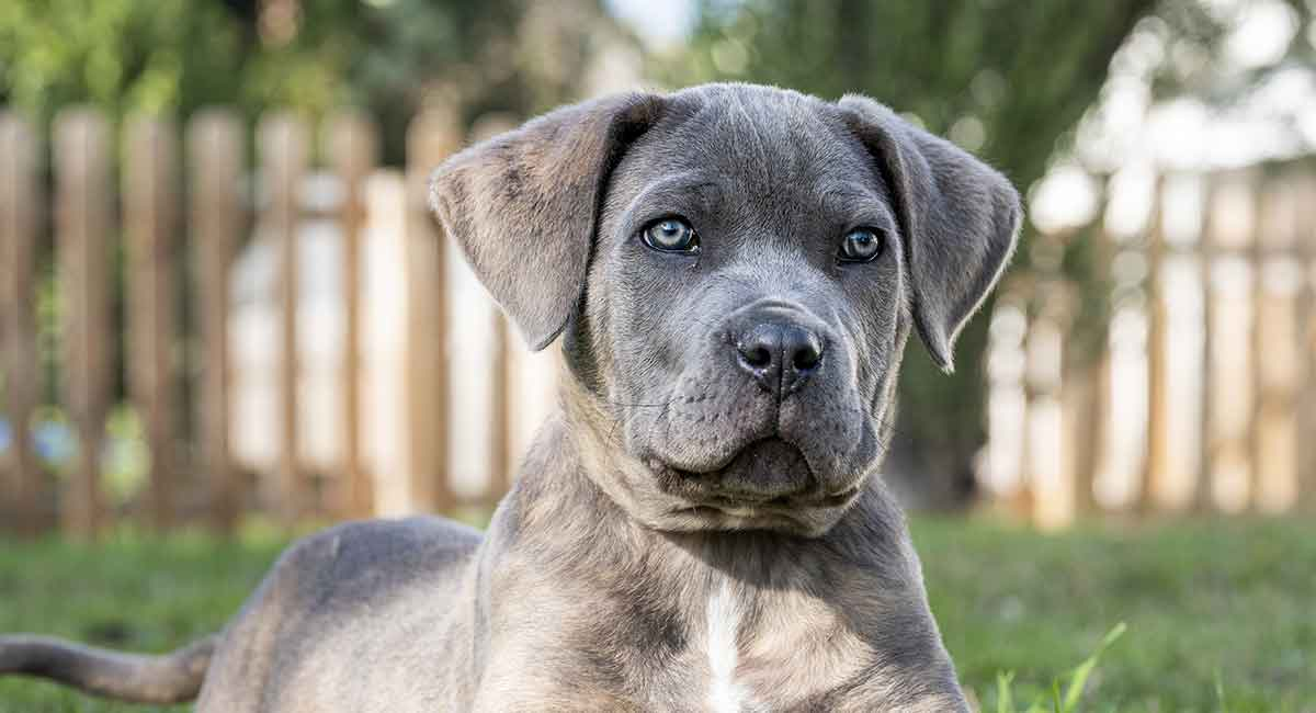 Cane Corso Temperament Is This Dog Right For Your Family
