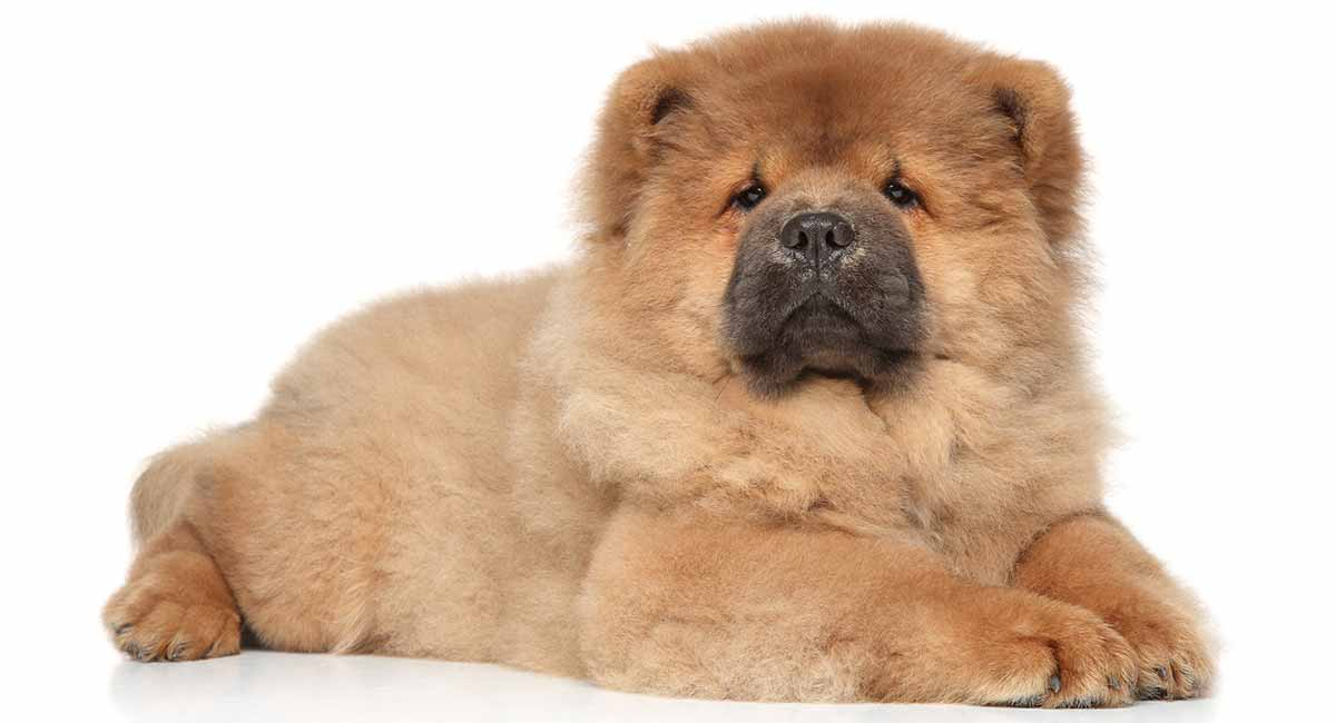 Chow Chow Temperament