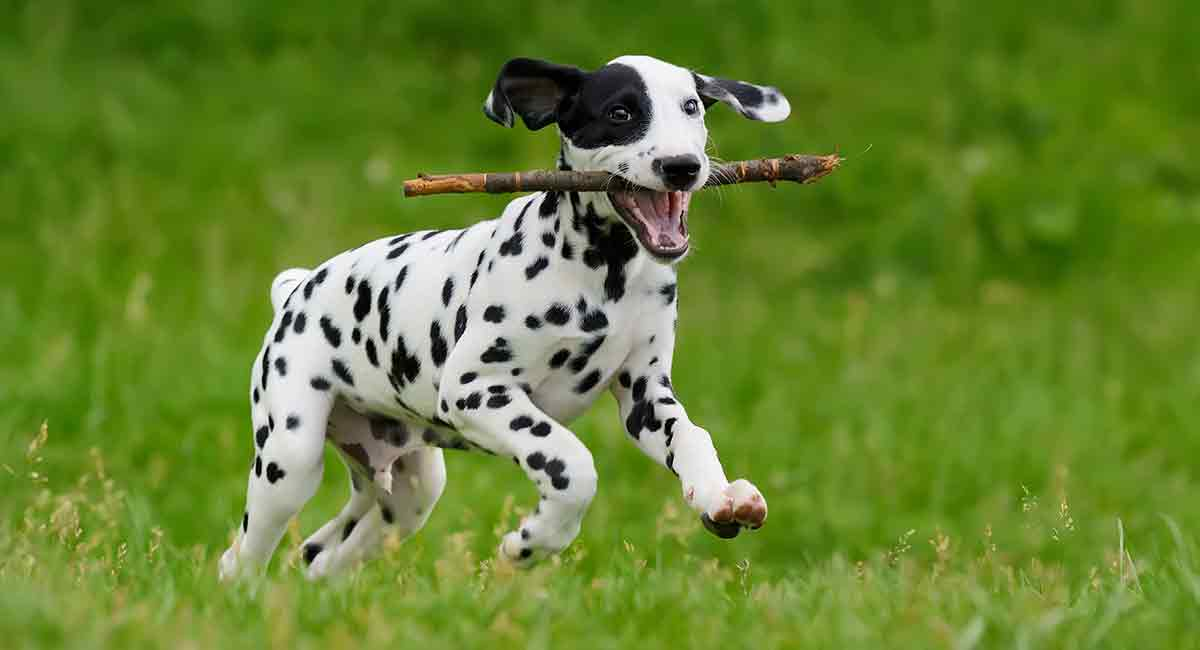 Dalmatian Temperament - Find Out More About This Striking Breed