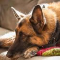 Do German Shepherds Shed? – More About Shedding in This Breed