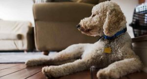 Do Labradoodles Shed? – Is This Breed As Hypoallergenic As They Say?