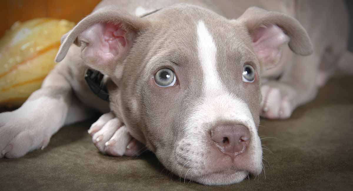 Do Pitbulls Shed? - Will Your New Pup Make A Mess?