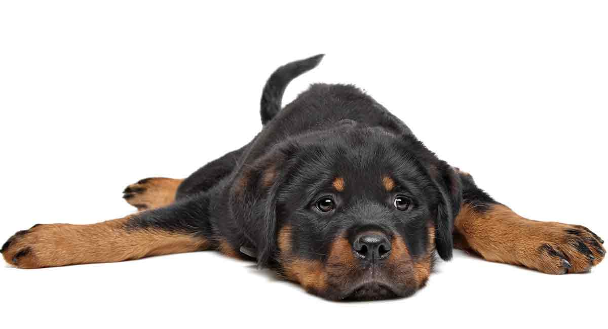Do Rottweilers Shed What To Expect From Your Rottie S Coat