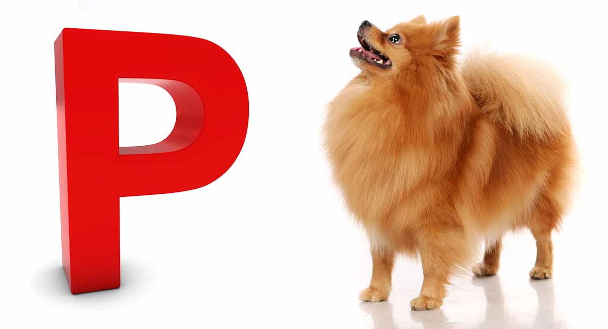 Dog Breeds That Start With P How Many
