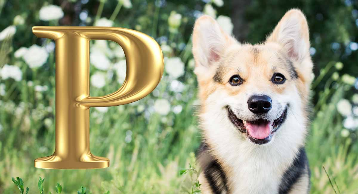 Dog Names That Start With P – Some Awesome Name Ideas for Your Pup