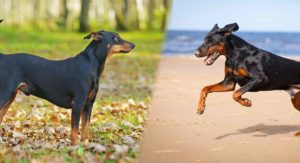 German Pinscher vs Doberman Pinscher: Which One Is Right for You?