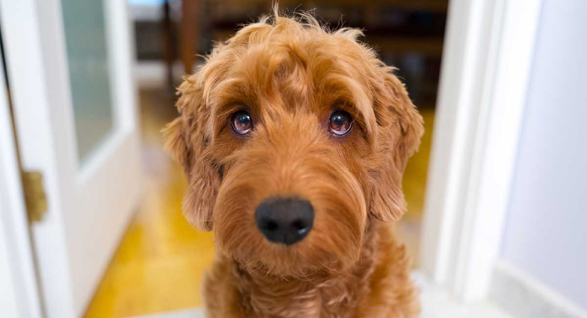 goldendoodle temperament