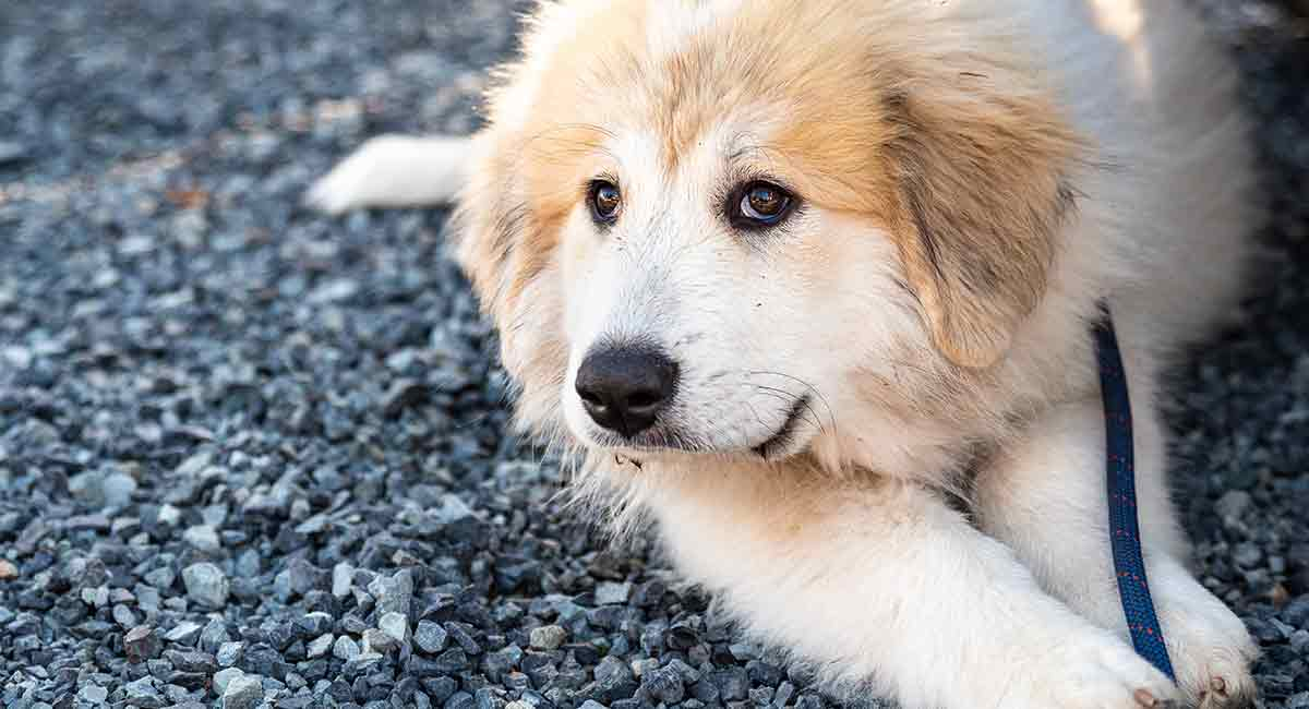 Great Pyrenees Temperament Learn More About This Big Breed