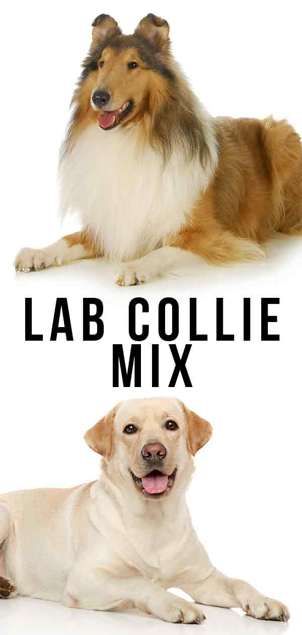 Lab Collie Mix
