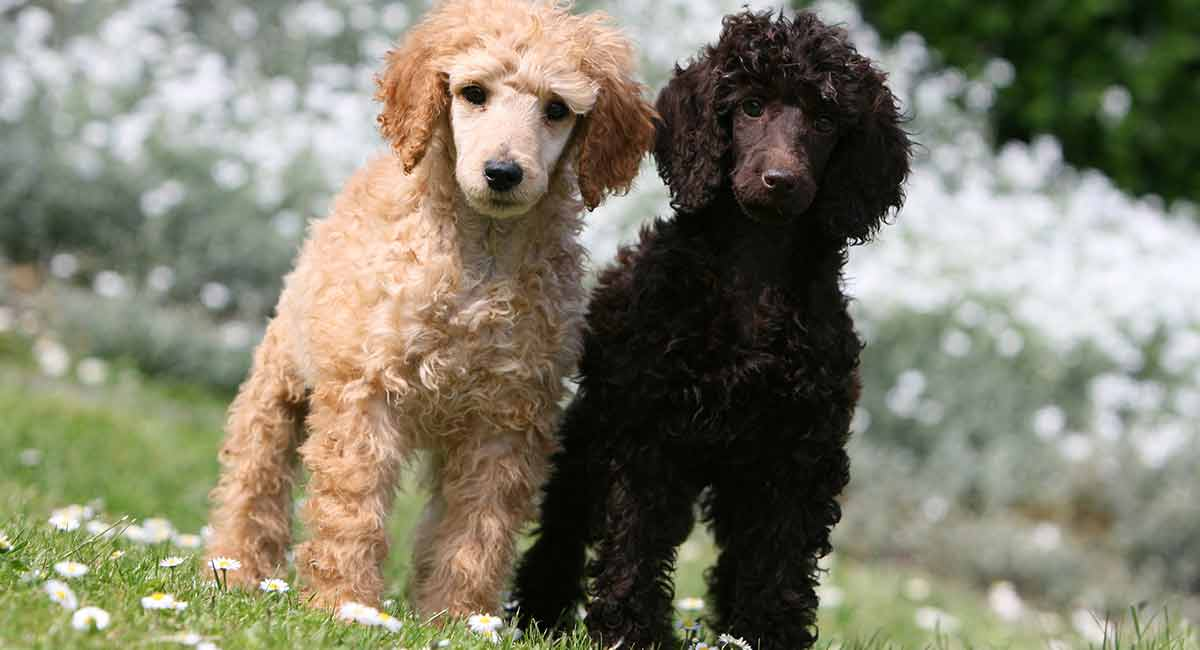 poodle colors