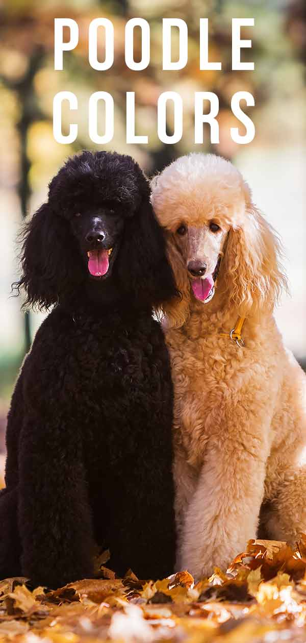 Poodle Colors Do You Know How Many Poodle Coat Colors There