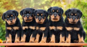 Rottweiler Temperament – Everything You Need to Know