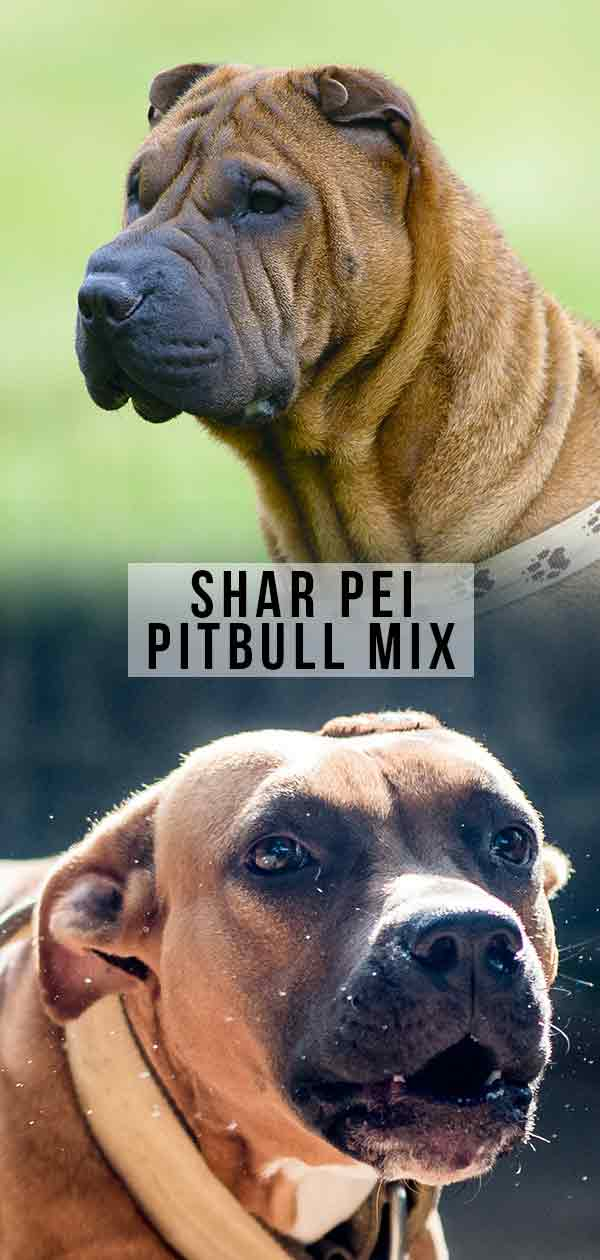 Shar Pei Pitbull Mix