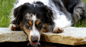 Tri Color Australian Shepherd