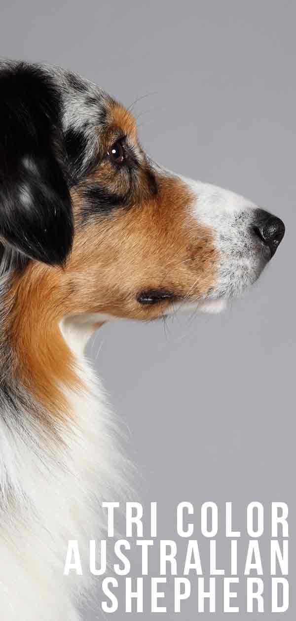 Tri Color Australian Shepherd How Is This Dog Special