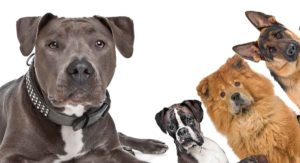 American Staffordshire Terrier Mix – Do You Know All These Hybrids?