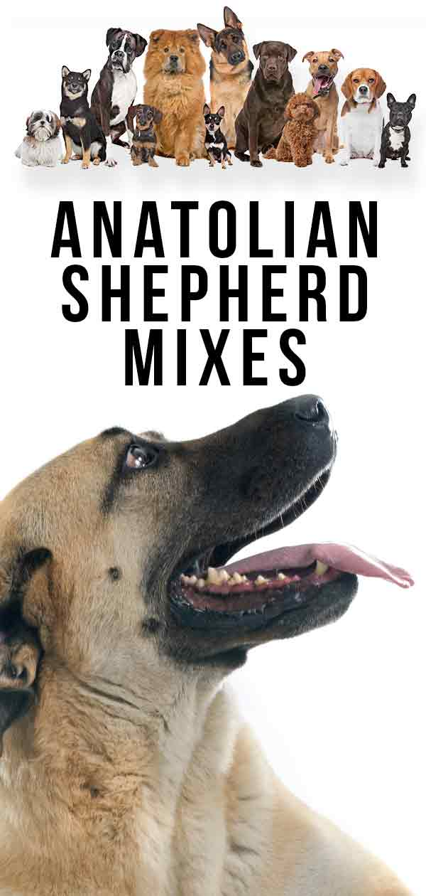 Anatolian Shepherd Mixes