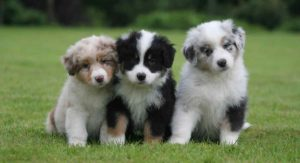 Australian Shepherd Colors – Did You Know All These Colors and Markings?