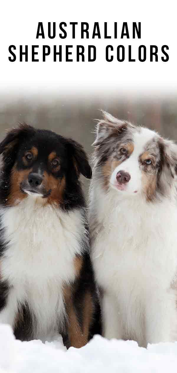 Australian Shepherd Colors