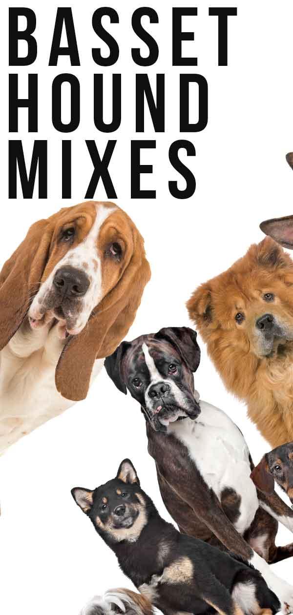 basset hound mixes