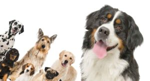 Bernese Mountain Dog Mixes – All Of The Shapes And Sizes