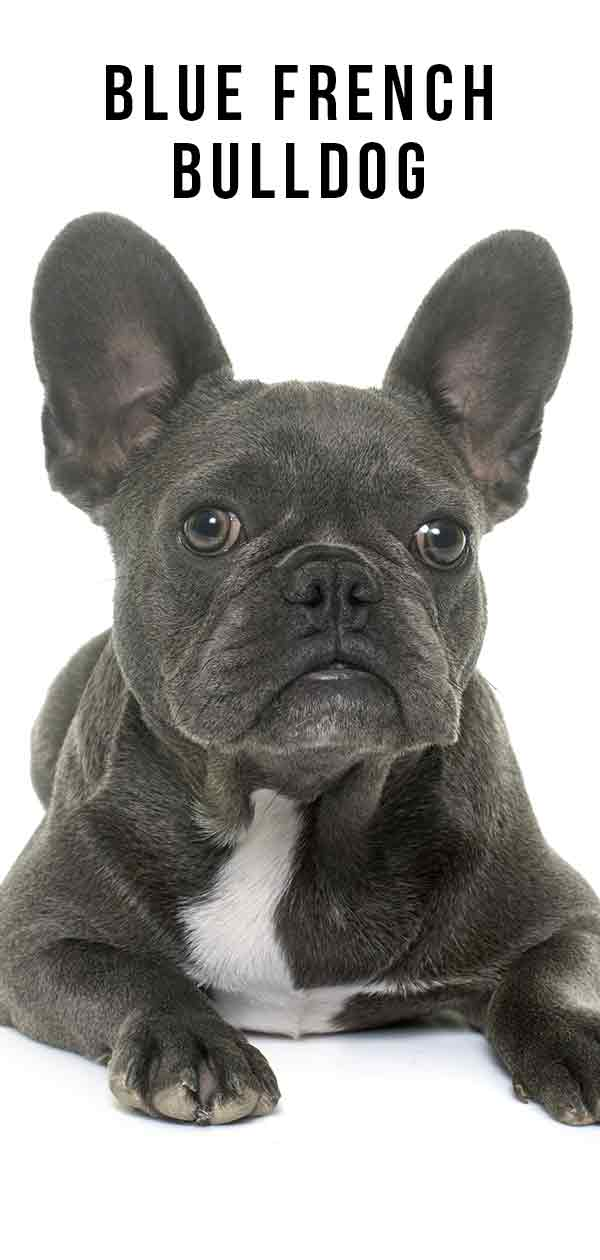 Blue French Bulldog – What you should know about this unusual coat color