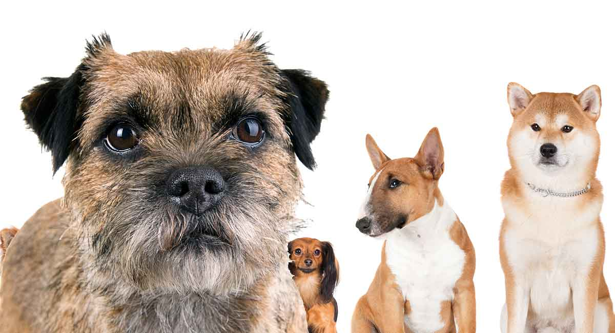 border terrier mixes