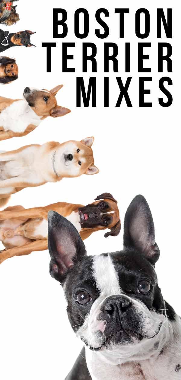 Boston Terrier Mixes