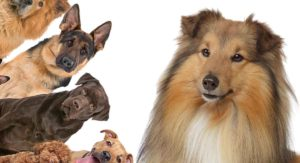 Collie Mixes – Do You Know About All These Collie Cross Breeds?