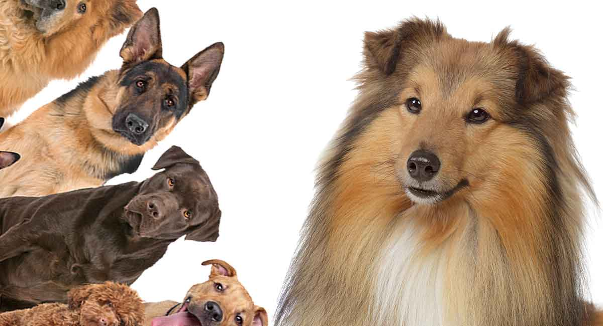 Collie mixes