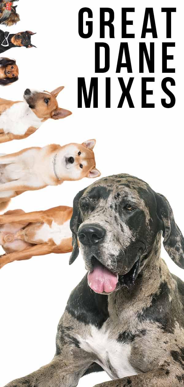 Great Dane Mixes