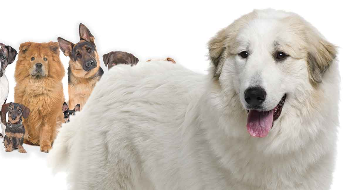 Great Pyrenees mixes