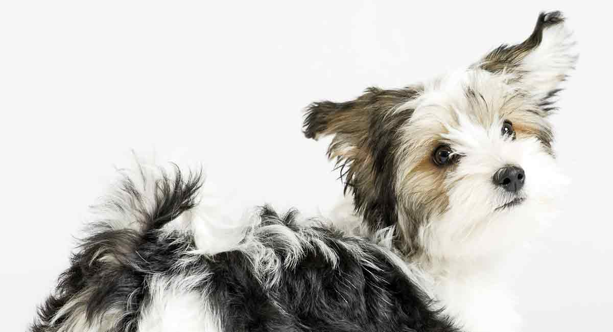 Havanese Mixes - All Of The Shapes And Sizes