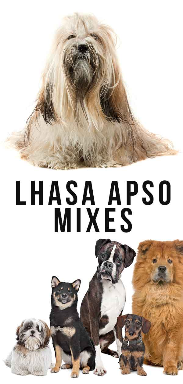 lhasa apso mixes