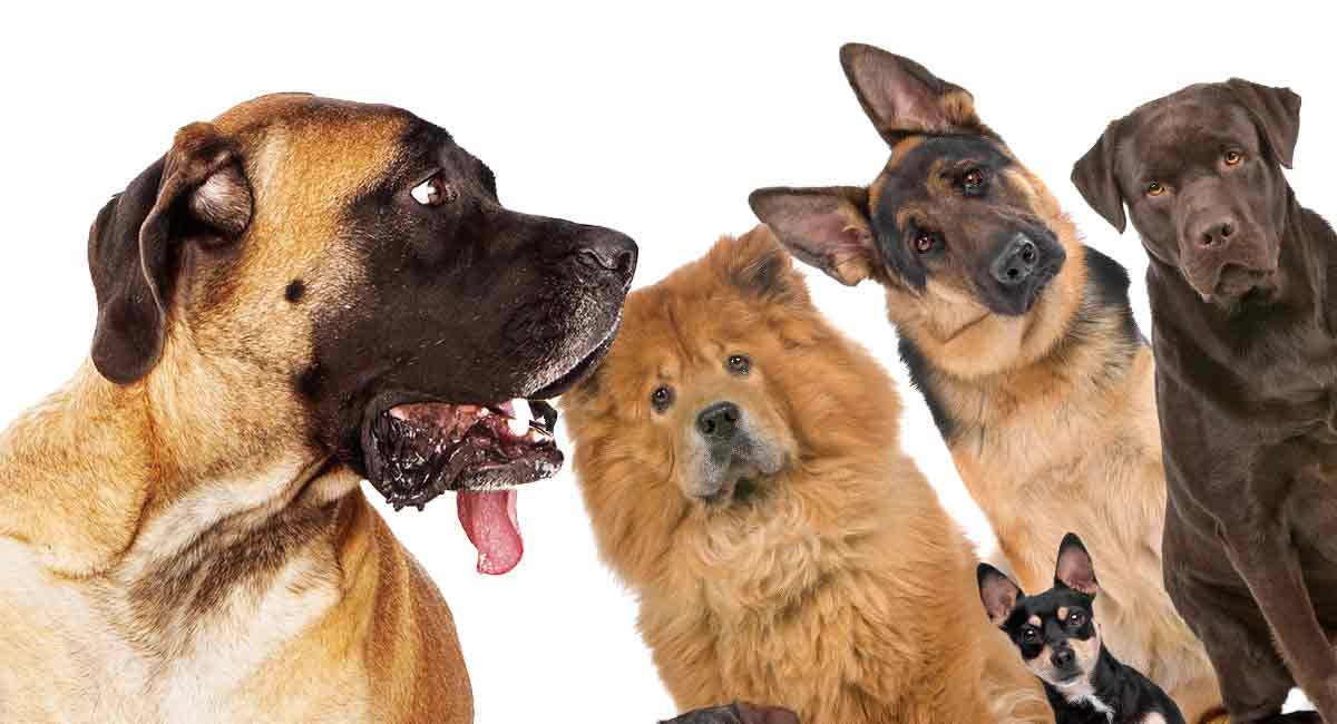 Mastiff Mix: Which One Is The Right Dog for Your Family?
