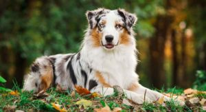 Merle Dog – Find Out More About Dogs With This Beautiful Pattern