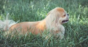 Pekingese Mix Breed Dogs – Which One Is Your Favorite?