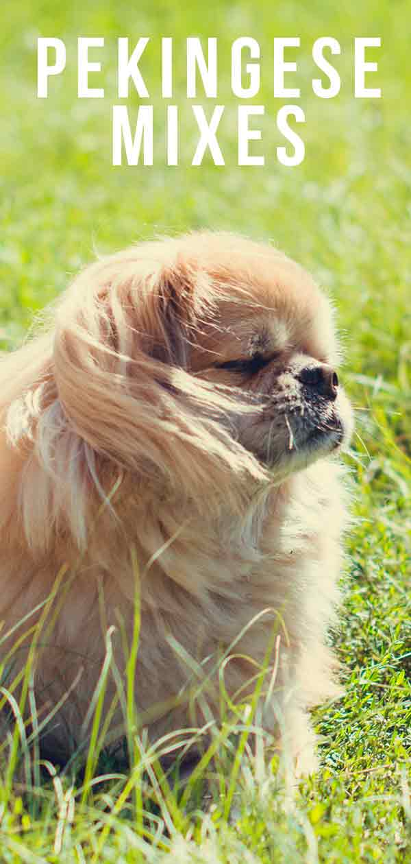 Pekingese Mixes