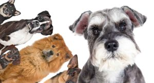 Schnauzer Mixes – Which One Is Right For You?