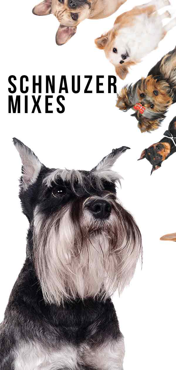 schnauzer mixes