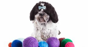 Shih Tzu Colors – Which Of These Is Your Favorite?