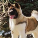 American Akita – Is This Dog Right For You?