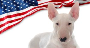 American Bull Terrier – Is This Dog Right For You?