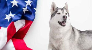 American Husky