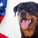 American Rottweiler – The Amazing Rotties Of The USA