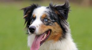 Australian Shepherd Temperament: the Pros and Cons of a Loyal Breed