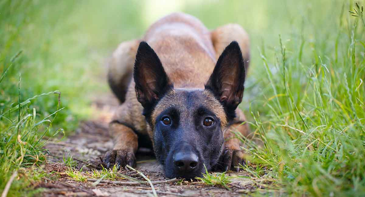 Belgian Malinois temperament