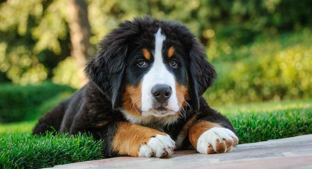 Bernese Mountain Dog temperament