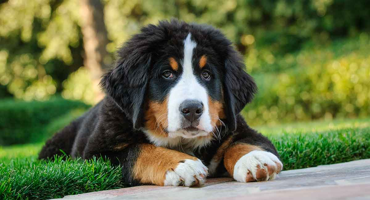 Bernese Mountain Dog Temperament More About This Big Breed